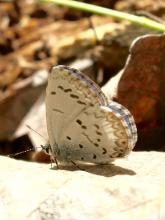 A spring azure butterfly in Sudbury, photographed by Dawn Dentzer.