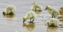 Canada goose goslings at Hager Pond in Marlborough, photographed by Steve Forman.