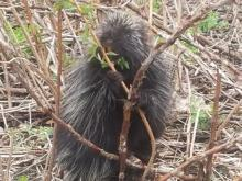 A porcupine in Bolton, photographed by Liz Schoepke.