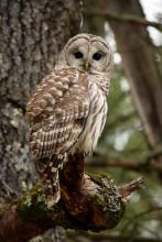 A barred owl at Assabet River National Wildlife Refuge in Sudbury, photographed by Cynthia Pratt.