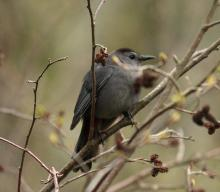 A gray catbird in Sudbury, photographed by Dan Trippe.