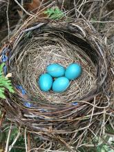 An American robin's nest in Sudbury, photographed by Dawn Dentzer.