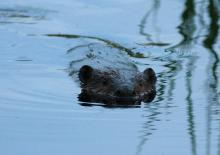 A beaver in Sudbury, photographed by Dan Trippe.