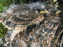 House finch chicks in Sudbury, photographed by Dawn Dentzer.