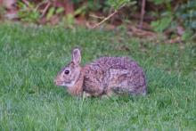 A cotton-tailed rabbit in Sudbury, photographed by Dawn Dentzer.