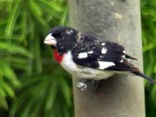 A rose-breasted grosbeak in Lincoln, photographed by Harold McAleer.