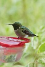 A ruby-throated hummingbird in Sudbury, photographed by Dawn Dentzer.