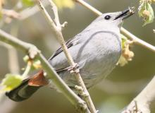 A gray catbird at Grist Mill Pond in Sudbury, photographed by Steve Forman.