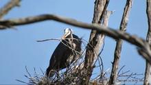A great blue heron at SVT's Lyons-Cutler Reservation in Sudbury, photographed by Michael Kolodny.