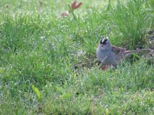 A white-crowned sparrow in Stow.