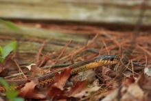 A common garter snake in Sudbury, photographed by Dan Trippe.
