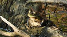 An American bullfrog at Farm Pond in Framingham, photographed by Michael Kolodny.
