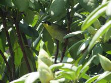 A common yellowthroat in Stow.
