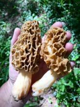 Morel mushrooms in Sudbury, photographed by Dawn Dentzer.
