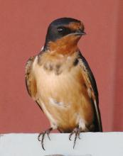 A barn swallow at Hopkinton State Park, photographed by Steve Forman.