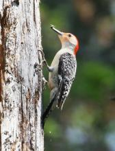 A red-bellied woodpecker at Waseeka Wildlife Sanctuary in Hopkinton, photographed by Steve Forman.