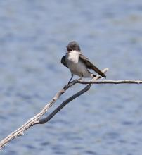 A tree swallow at Waseeka Wildlife Sanctuary in Hopkinton, photographed by Steve Forman.