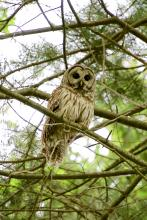 A barred owl in Sudbury, photographed by Dawn Dentzer.