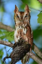 An eastern screech owl with prey in Concord, photographed by David G. Seibel.