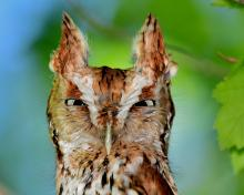 An eastern screech owl in Concord, photographed by David G. Seibel.