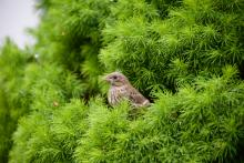 A house finch fledgling in Sudbury, photographed by Dawn Dentzer.