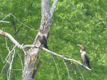 Double-crested cormorants on the Sudbury River in Concord, photographed by Terri Ackerman.