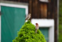 House finches in Sudbury, photographed by Dawn Dentzer.