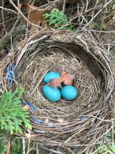 An American robin nest in Sudbury, photographed by Dawn Dentzer.