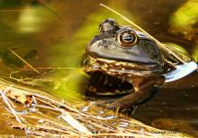 An American bullfrog in Framingham, photographed by Michael Kolodny.