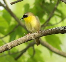 A common yellowthroat in Sudbury, photographed by Dan Trippe.