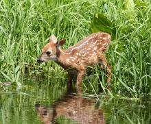 A white-tailed deer in Sudbury, photographed by Dan Trippe.