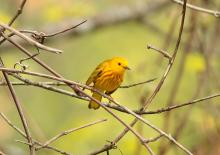 A yellow warbler in Sudbury, photographed by Dan Trippe.