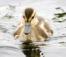 A mallard duckling at Farm Pond in Framingham, photographed by Steve Forman.