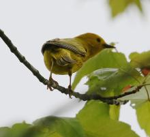 A yellow warbler at Great Meadows in Concord, photographed by Steve Forman.