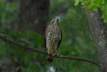 A broad-winged hawk at New England Wildflower Society in Framingham, photographed by Greg Dysart.