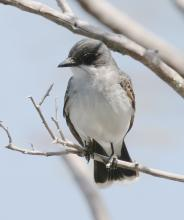 An eastern kingbird at Mass Audubon's Waseeka Wildlife Sanctuary in Hopkinton, photographed by Steve Forman.