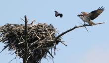 Ospreys and a common grackle at an osprey nest in Hopkinton, photographed by Steve Forman.