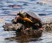 A painted turtle at Mass Audubon's Waseeka Wildlife Sanctuary in Hopkinton, photographed by Steve Forman.