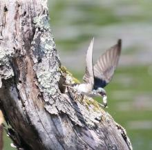 A tree swallow removing a fecal sac from a nest at Mass Audubon's Waseeka Wildlife Sanctuary in Hopkinton, photographed by Steve Forman.