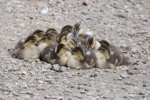 Mallard ducklings at Hager Pond in Marlborough, photographed by Sue Feldberg.