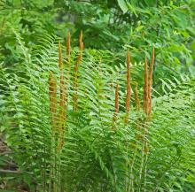 Cinnamon fern at Broadmoor Wildlife Sanctuary in Natick, photographed by Joan Chasan.