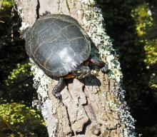 A painted turtle at Broadmoor Wildlife Sanctuary in Natick, photographed by Joan Chasan.