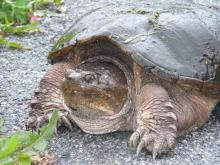 A snapping turtle in Concord, photographed by Rochelle Steinberg.