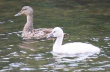A mute swan cygnet and a mallard at Hagar Pond in Marlborough, photographed by Steve Forman.