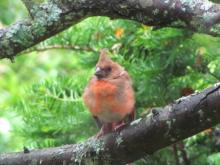 A fledgling northern cardinal in Framingham, photographed by Todd Boli.