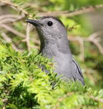 A gray catbird at Hager Pond in Marlborough, photographed by Steve Forman.