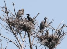 Great blue herons and double-crested cormorants at their nests on the Sudbury Reservoir in Southborough.
