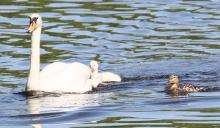 A mallard with mute swans at Hager Pond in Marlborough, photographed by Steve Forman.