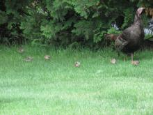 Turkeys in Stow.