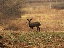 A white-tailed deer at SVT's Wolbach Farm in Sudbury, photographed by Russ Nichols.